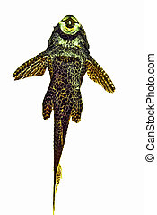 freshwater catfisch (Pterygoplichthys gibbiceps) cut out
