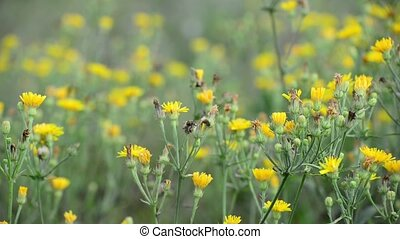 Yellow meadow flowers in summer Russia - Meadow with wild...