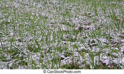 green grass covered with snow - green grass under white snow...