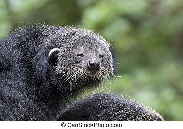 Image of a binturong on nature background.