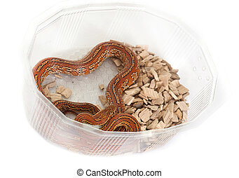 corn snake in box - corn snake in front of white background