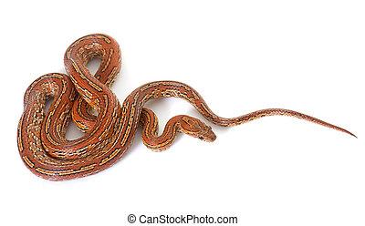 corn snake in studio - corn snake in front of white...