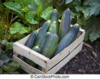 Home grown zucchini - Freshly picked home grown zucchini or...