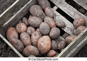 Freshly dug potatoes - Freshly dug organic potatoes in...