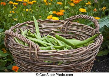 Fresh home grown beans in a basket