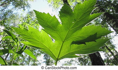 Broad-leafed plant. - An underside view of leaves on plant...