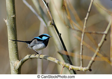 Blue wren - a male blue wren superb fairy wren in the...