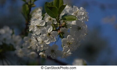 Flowering branches on blue sky background 4 - Spring...