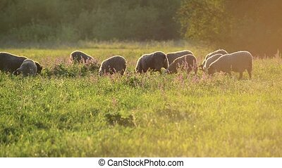 small flock of sheep in a pasture in sunset light - A small...