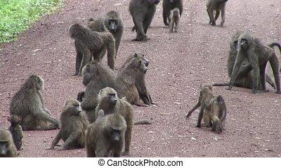 Wild Baboon Monkey in African Botswana savannah - Botswana...