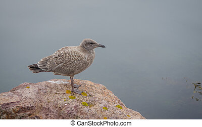 Juvenile Western (Larus occidentalis) seagull - Brownish...