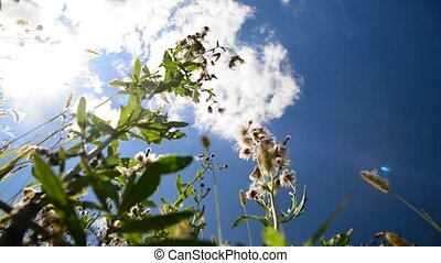 Pink sow thistle with seeds against the sky