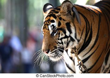 photographies de tigre famille quatre tigres reposer les fond de csp2187000. Black Bedroom Furniture Sets. Home Design Ideas