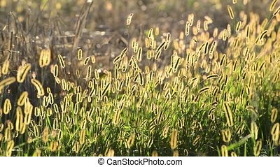 Golden meadow grass at sunset - Meadow grass in the setting...