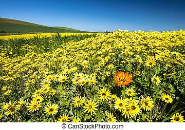 Fields of Wildflowers in Australia - A lonesome orange...
