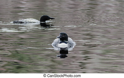 Mating pair of Common Loon - Gavia immer. - Common Loon -...