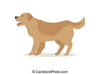 Golden Retriever Dog Isolated on White. Labrador - Golden...