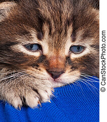 Cute little kitten in the human's shoulder over blue...
