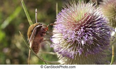moth extracting nectar from a thistle at the end it flies...