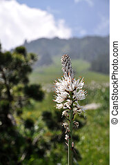 Raiponce en epi - Beautiful Pyrenees alpes flower Raiponce...