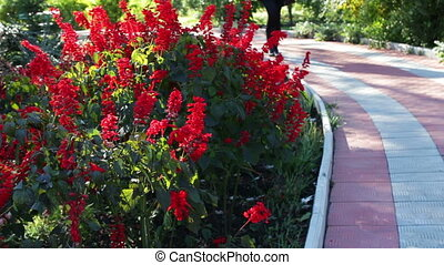 walkway in autumn park - beautiful bright red autumn flowers...