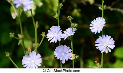 Blue flowers of wild chicory - Blue flowers of a wild...