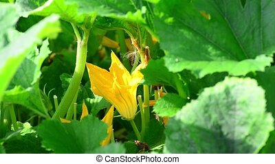 Pumpkin Flower closeup - A Pumpkin Flower close up