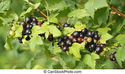Black currant berries in the garden