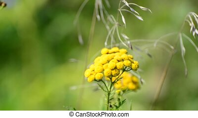 Inflorescence tansy sways in wind. defocusing -...