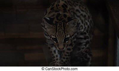 Footage ocelot sitting in the zoo cage. 4K