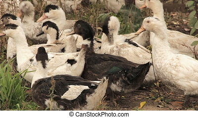 A flock of domestic ducks - A flock of domestic white and...