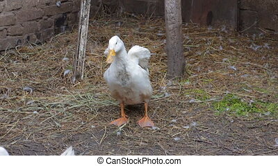 Two domestic white duck in his paddock 2