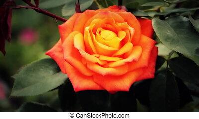 Rose Flower swaying breeze hd