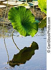 American Lotus Leaf In Wetlands - American Lotus Leaf In...