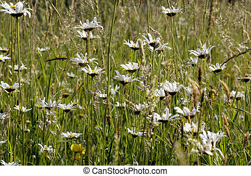 Ox eye daisy - Ox eye daisies growing in wild grassland in...