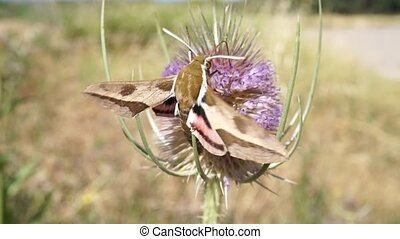 moth flying and extracting nectar from a thistle