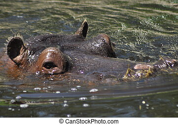Hippo. Floating in the water a large animal living in Africa