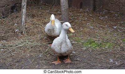 Two domestic white duck in his paddock