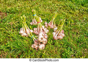 some bundles of garlic lying on the grass