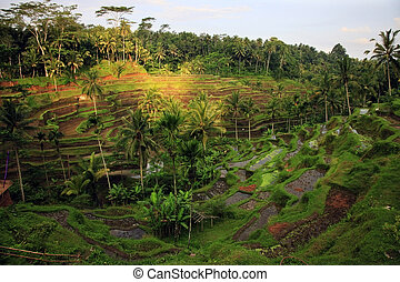Rice Terrace - Amazing view of the Rice Terrace field, Ubud,...