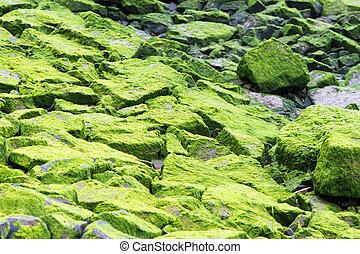Moss covered rocks 2 - Moss and sea weed covered rocks near...