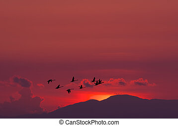 Migratory birds flying over red sunset - Sandhill cranes in...