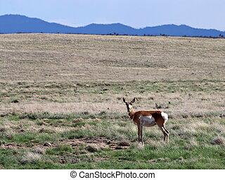 Pronghorn Doe in Prescott Valley Highlands - A Pronghorn Doe...