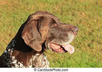 German Shorthaired Pointer male, six years old