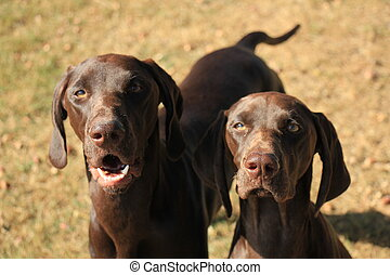 German Shorthaired Pointers - German Shorthaired Pointer...