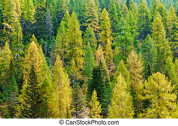 Aerial view of green pine forest in Dolomites Alps