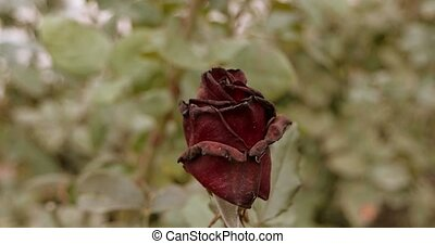 Dying beautiful dark red rose in the garden, selective...