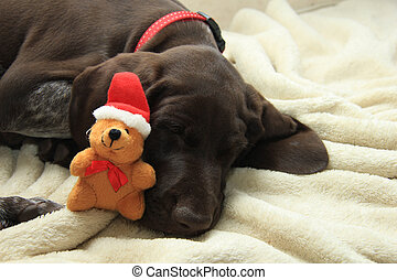 Christmas Pointer - German shorthaired pointer puppy, 10...