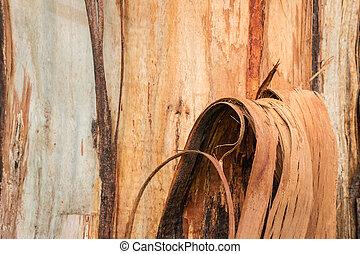 peeling eucalyptus tree bark - closeup of peeling eucalyptus...