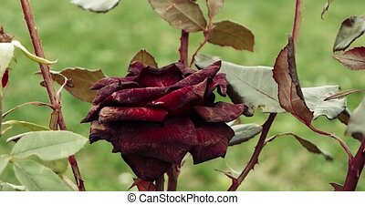 Dying dark red rose in the garden, selective focus, vintage color, dying plant in autumn, sad fall mood.